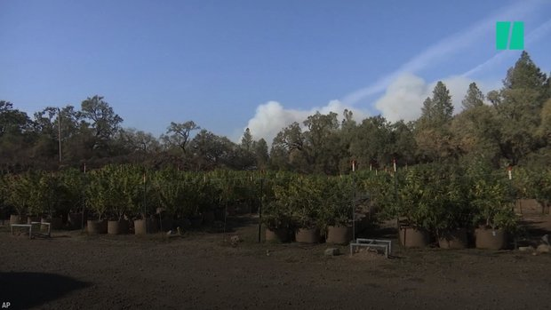 wildfires scorch california cannabis - Wildfires Scorch California Cannabis